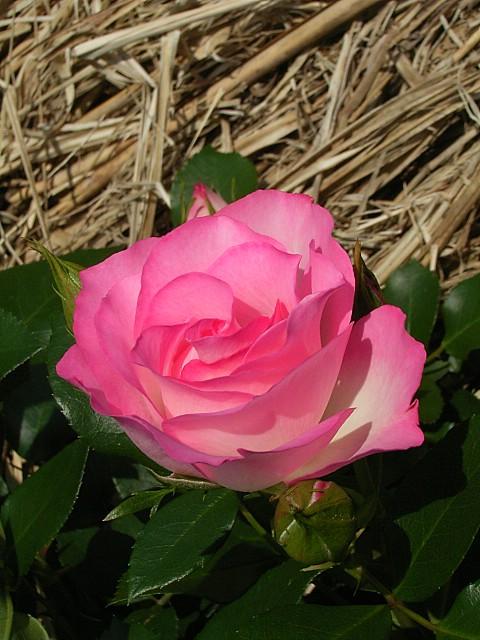 Rose:Champion.