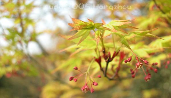 Acer palmatum 4