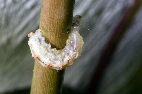 iets dat een bladluis aan het eten is