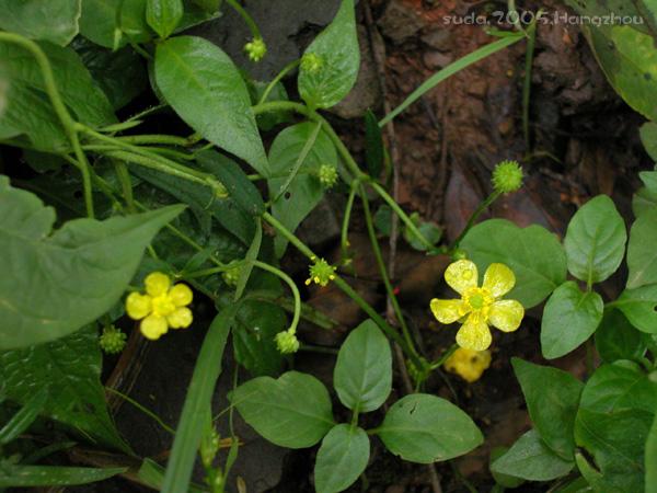 Ranunculus japonicus1
