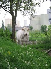Buwch ger y gamlas, Mynwent Essex Farm, Ieper
