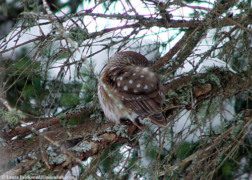 Sleeping Saw-whet Owl