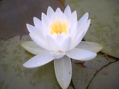 Lotus flower   by wasoxygen