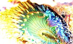 Technicolor Anenome