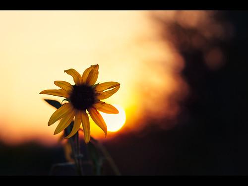 sunset ant sunflower 2009 muzzlehatch inttag
