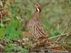 Koklass Pheasant by Jia-wei's Zone