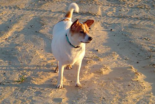 sunset dog sand akita