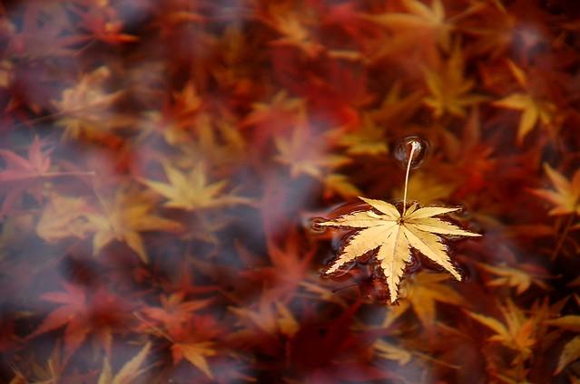 Autumn/Japanese Maple