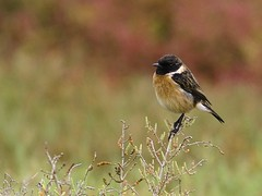 Cartaxo - Saxicola rubicola - Common Stonechat | by Jose Sousa