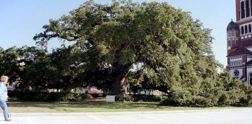 church oak quercus lafayette live oaks quercusvirginiana