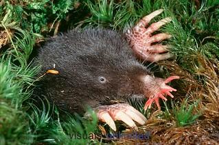 star-nosed-mole-3