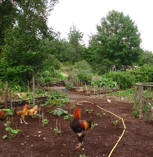 The chickens have been busy weeding | by hardworkinghippy : La Ferme de Sourrou
