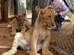 Young lion cubs (brother and sister) | by steena