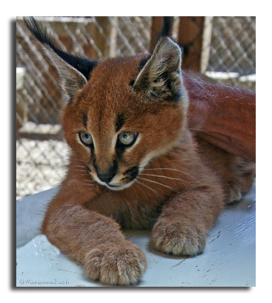 Desert Lynx Hot Flash Photography Flickr