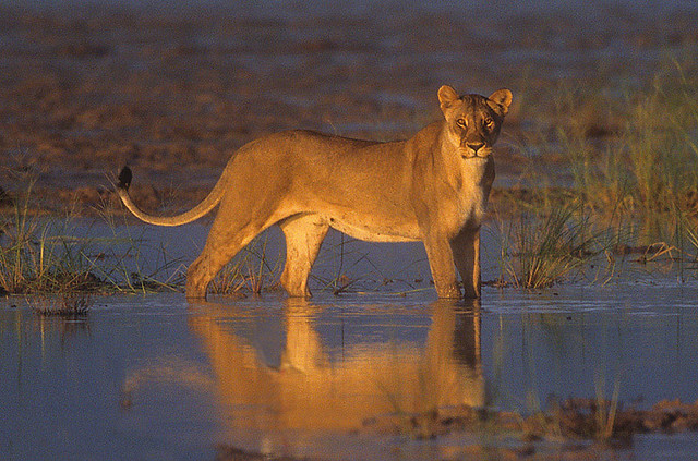 African Lioness standing in shallow rainwater pan Etosha National Park Namibia
