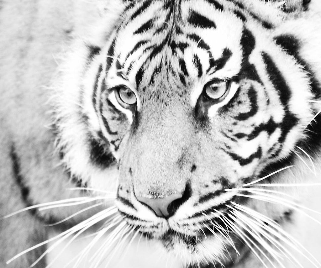 Картинки белого тигра анимация, прикольные