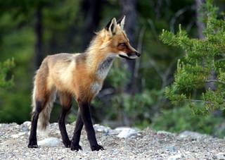 Grand renard tout proche/Large very close fox | by peupleloup