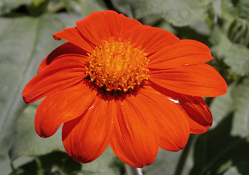 Tithonia rotundifolia | by Carl E Lewis
