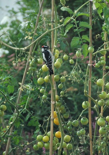 woodpecker in the tomatoes | by winnie-t