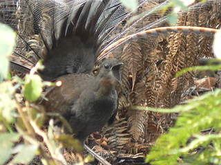 Male LyreBird In Full Cry! Stunning! | by ianmichaelthomas