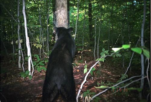 newyork bears ursusamericanus americanblackbear taxonomy:common=americanblackbear siwild:study=adirondackcarnivoresurvey siwild:studyId=adksets geo:locality=northamerica taxonomy:species=ursusamericanus taxonomy:group=bears sequence:index=1 sequence:length=1 siwild:date=200109011715000 siwild:trigger=adkimg793 siwild:imageid=adkimg793 sequence:id=adkimg793 file:path=dpixsmi2un082a~1jpg file:name=un082a~1jpg siwild:plot=smith siwild:location=smic2 siwild:camDeploy=adkdeploy115 siwild:species=155 sequence:key=1 siwild:region=adk BR:batch=sla0620101118064407 geo:lon=44812827 geo:lat=73812581