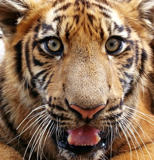Eyes of the tiger | by Swamibu