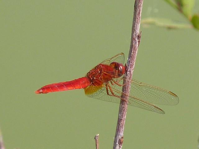 Red Dragonfly (Crocothemis erythraea)