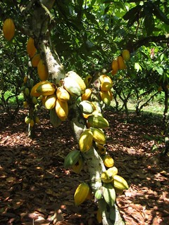 Cocoa trees with ripe pods | by IITA Image Library