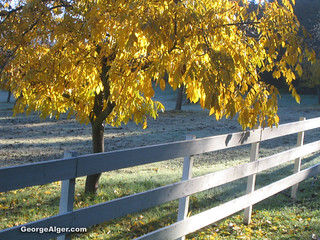 Yellow Tree & White Fence | by GeorgeAlger.com