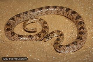 Leaf-nosed Snake(Lytorhynchus diadema) נחש חולות | by HyperViper