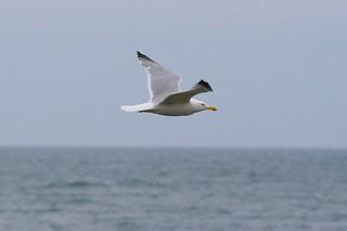 Gull in Flight #4