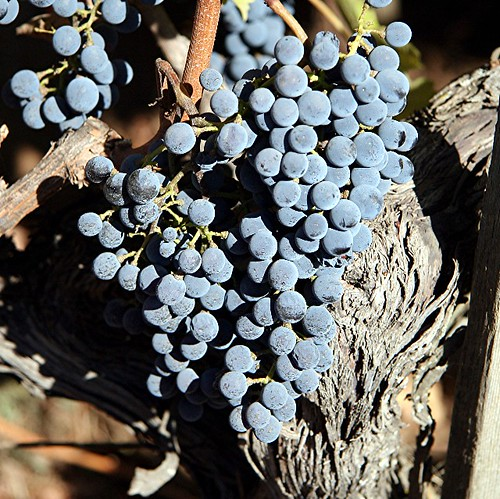 Cab franc | by David Light