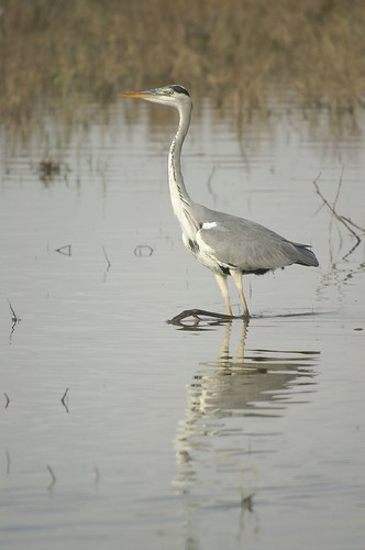 garza real 03 - grey heron (pose) | by ferran pestaña