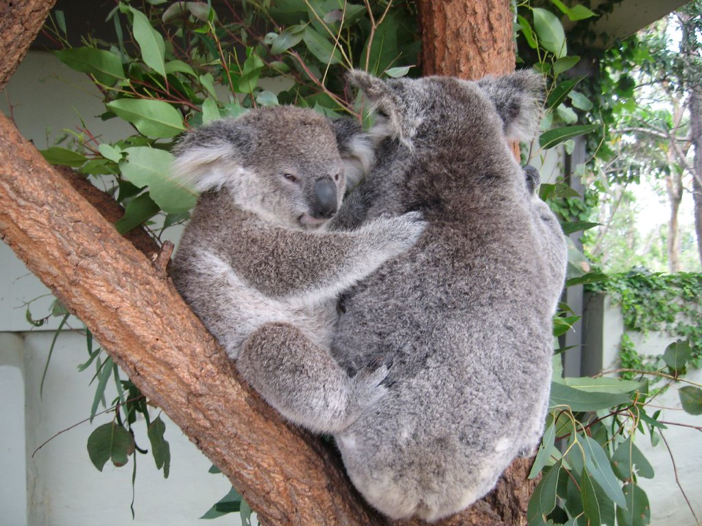 Koalas Hugging 2 | Jonathan | Flickr - photo#19