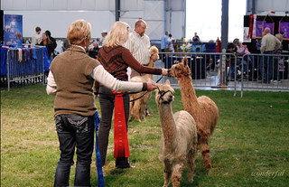 Alpaca Judging1 | by {every}nothing wonderful