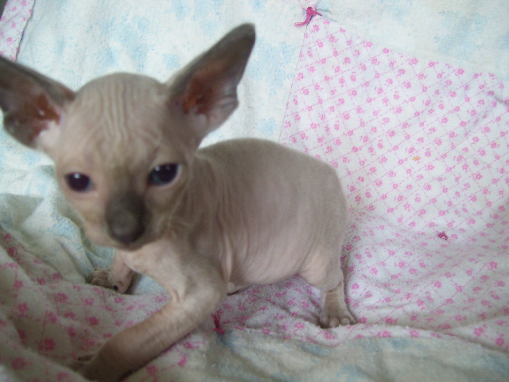 Blue point Sphynx Kitten   Babies from one of the past litte