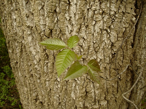 geotagged tennessee poisonivy hamiltoncounty toxicodendron anacardiaceae toxicodendronradicans northchickamaugacreekgreenway geo:lat=35112958 geo:lon=85227900