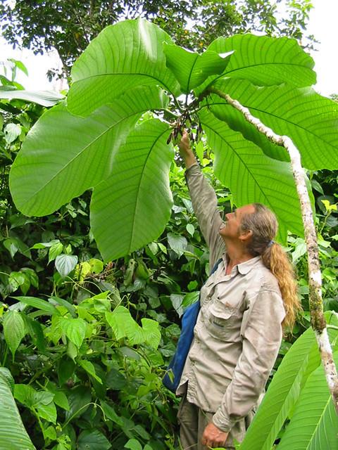 Passiflora macrophyllum.jpg