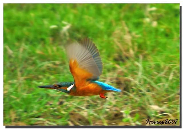 PORQUE FOTOGRAFIO PÁJAROS Blauet en vol 09 - martin pescador - king fischer - alcedo atthis