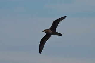Grey-faced Petrel, Pterodroma macroptera gouldi | by Tommy Pe Pe