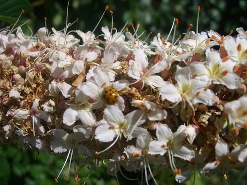Ladybug on the California buckeye 2409