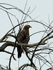 Lesser Spotted Eagle by Makgobokgobo