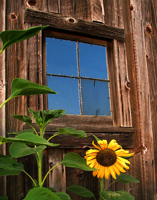 Sunflower gracing old barn window