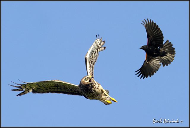 Hawk (Northern Harrier) - 1157