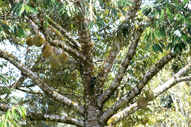 Durian Tree IMG_2316 | Durian trees  Pic taken on the way to