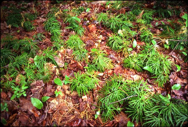 pine babies