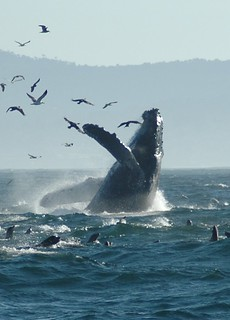 Dancing Humpback | by zorankovacevic