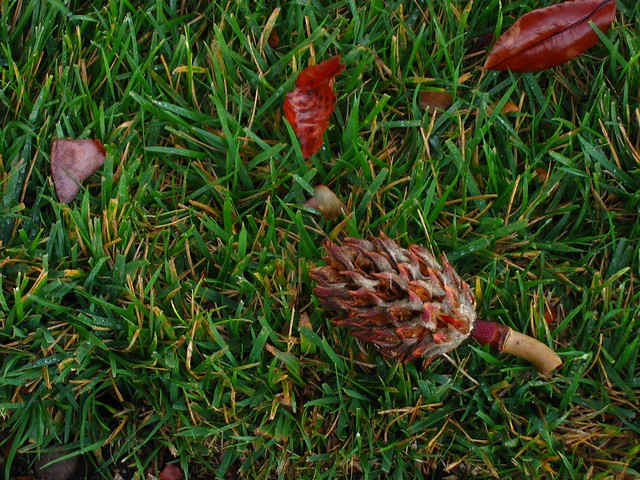 Tree Dropping A Magnolia Tree Seed Pod Randy Robertson Flickr