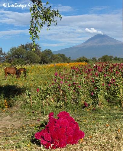 comprando flor terciopelo recien cortada - Puebla - México  - Día de los Muertos 2010
