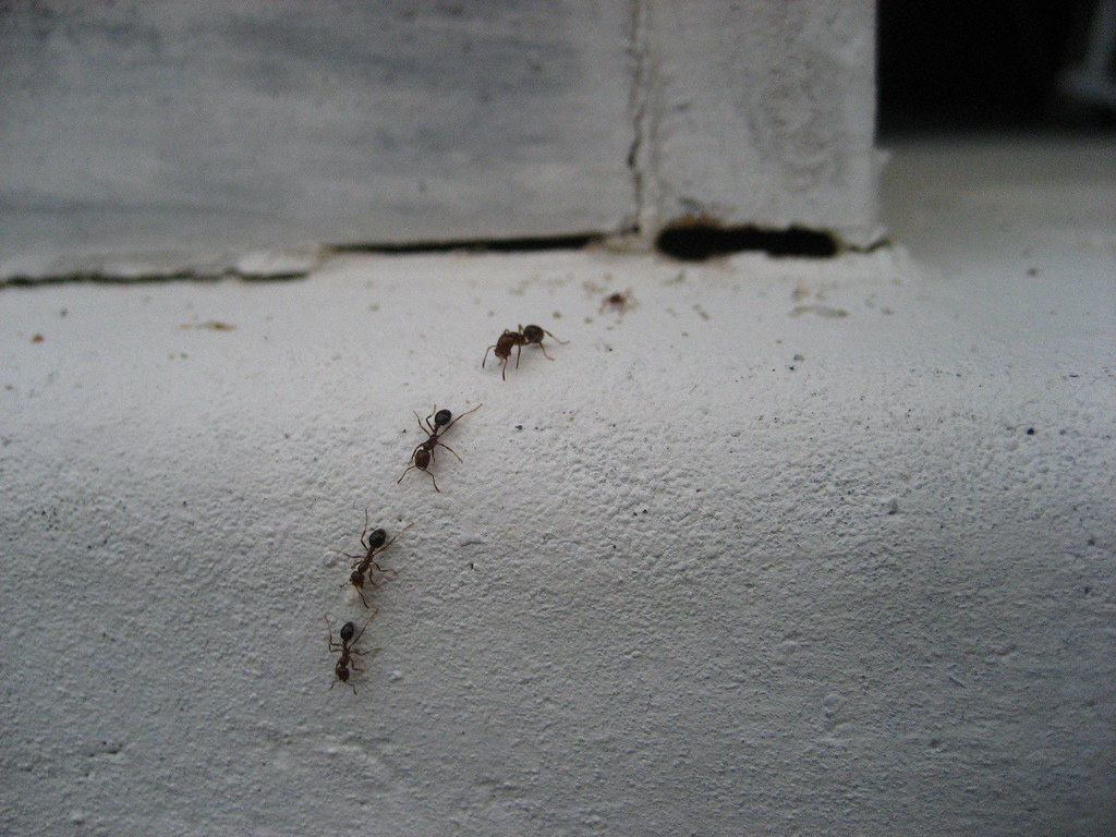 Image result for house ants